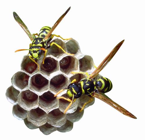 Il primo nemico delle api è un acaro