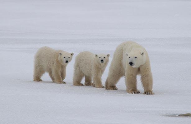 Sempre meno orsi polari, potrebbero sparire entro il 2050