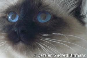 Tutti pazzi per i gatti: a dicembre mostre in tutta Italia