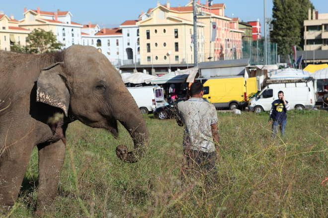 Roma, un altro elefante evade dal Circo