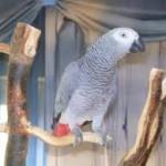 pappagallo-cenerino