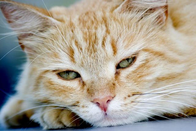I gatti più belli del mondo in esposizione a Prato
