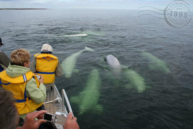 beluga-whale-tours-1