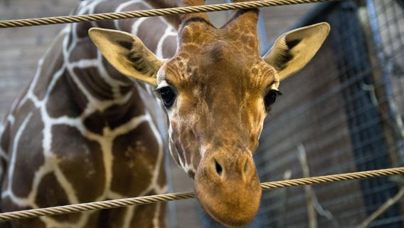Zoo di Copenhagen: Piccola giraffa uccisa dai custodi