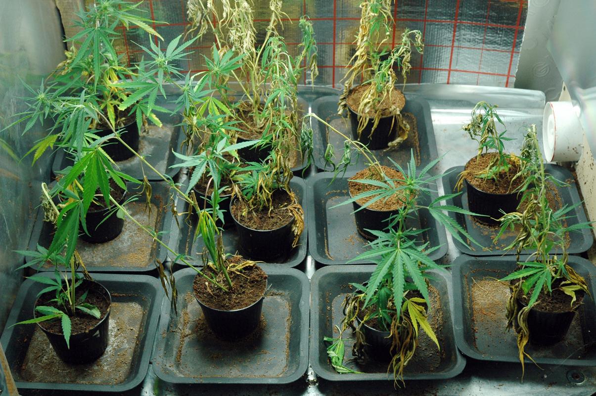 Camera, coltivare marijuana in casa non è più reato