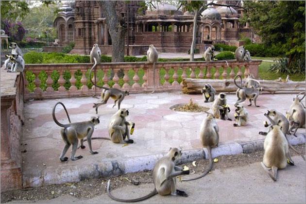 Scimmie nel tempio