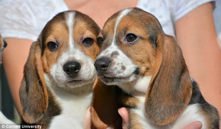 In provetta, per la prima volta, anche cuccioli di cane