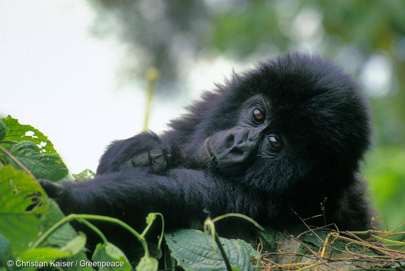 Mountain Gorilla in National Park in CongoBerggorilla im Kongo Regenwald
