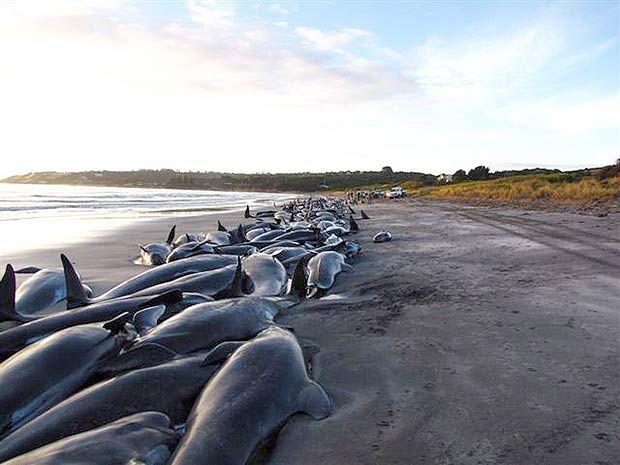 Nuova Zelanda, 400 balene da salvare: è il secondo caso