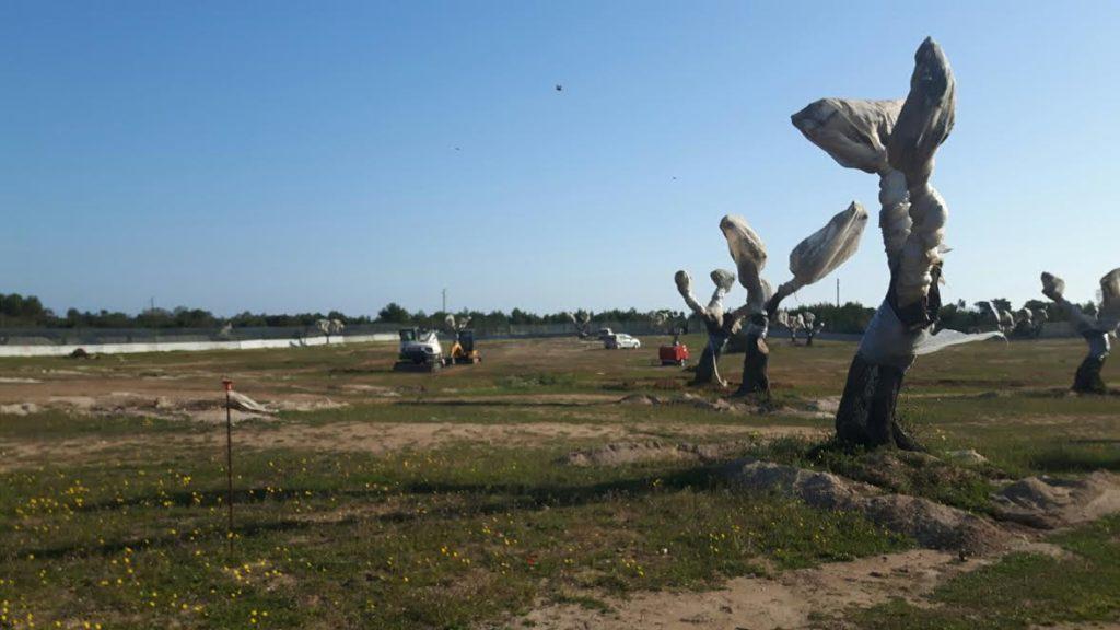 Gasdotto Tap: Tar blocca l'espianto degli ulivi