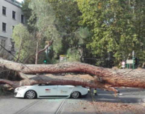 Morte degli alberi di Roma. Paura in Prati