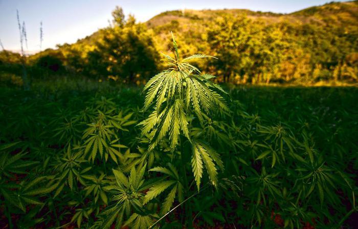 Cannabis anticancro: bufala? Eccome!