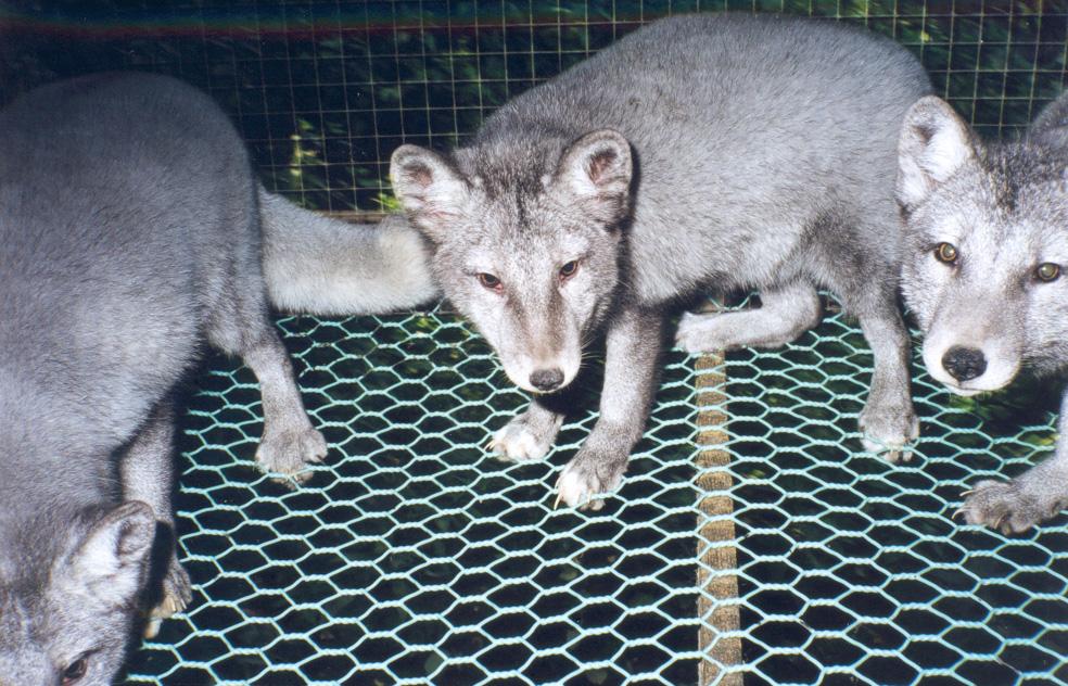 Tramonta la mattanza degli animali da pelliccia?