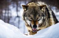 Wwf: votate il lupo e il mare