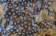 Segreti sistema immunitario in invertebrato marino