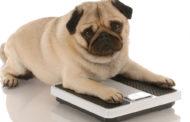 Cani, più aggressivi e ansiosi se sono obesi