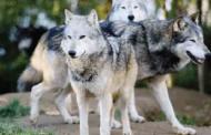 A Roma, attenti ai lupi!