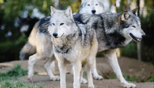 lupi intorno a Roma