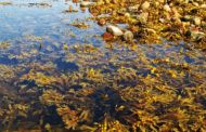 Alzheimer, un'alga ne riduce i sintomi