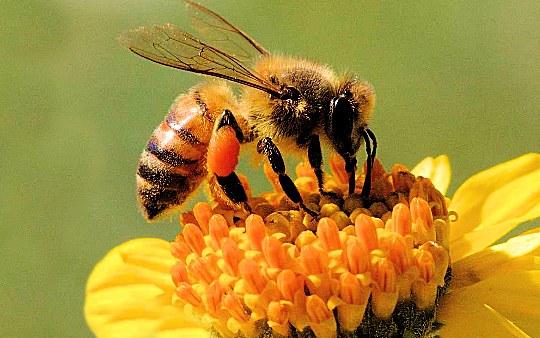 Puro miele d'api? No, veleno tossico