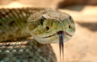 Virus cinese forse dai serpenti. Rapidissimo il diffondersi